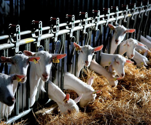 import - Export dairy goats