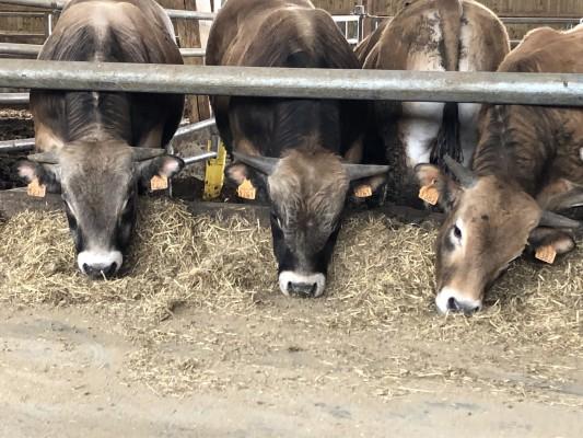 Aubrac bull of 500Kg