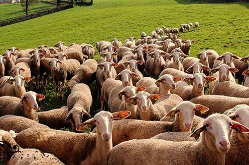 Exportação-ovelha-Lacaune-a-Metairie-du-Rouergue